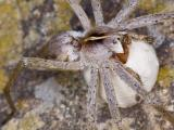 egg sac carried between pedipulps