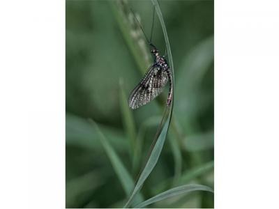 Mayfly at rest