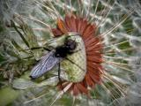 Fly-on-dandelion.jpg
