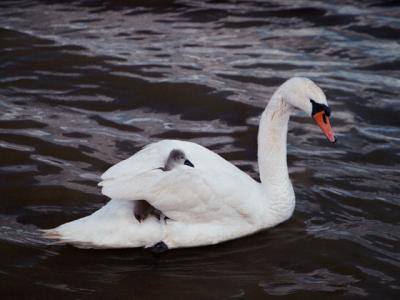 Swan Carrying Signets