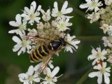 Wasp on hogweed