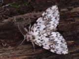 FEMALE BLACK ARCHES MOTH