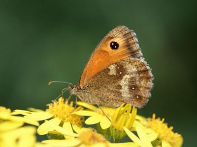 Woodland Brown butterfly. A little less dangerous