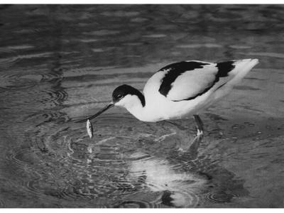 Avocet with catch