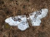 Least Carpet Moth