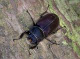 Female Stag Beetle