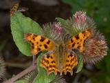 Comma Butterfly & Hoverfly